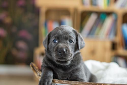 Labrador Charcoal Welpen